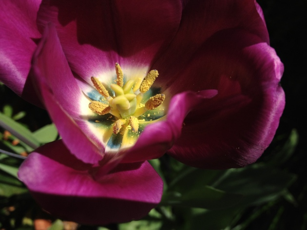 tulip open purple with pollen
