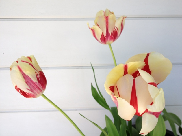 tulip potted stripes