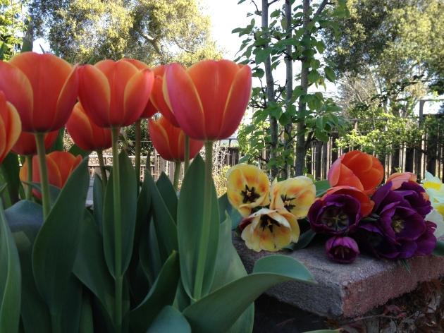 tulips straight orange with mix