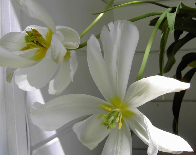 tulip closeup open white