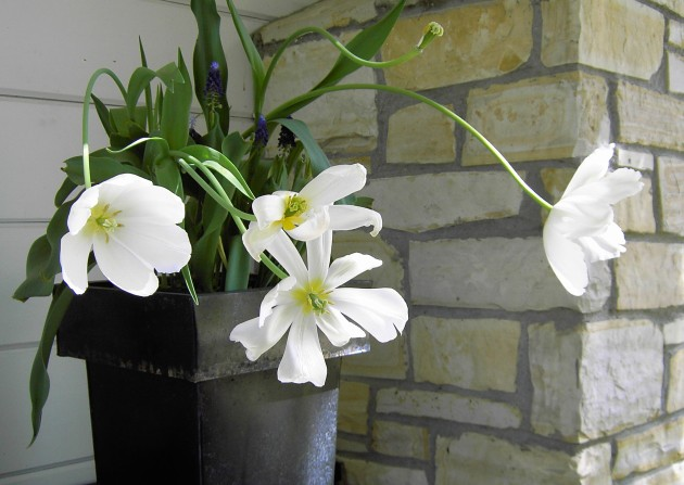 tulips white with metal pot rock wall