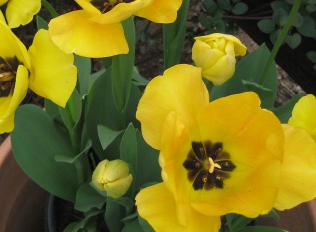 tulips yellow with bud
