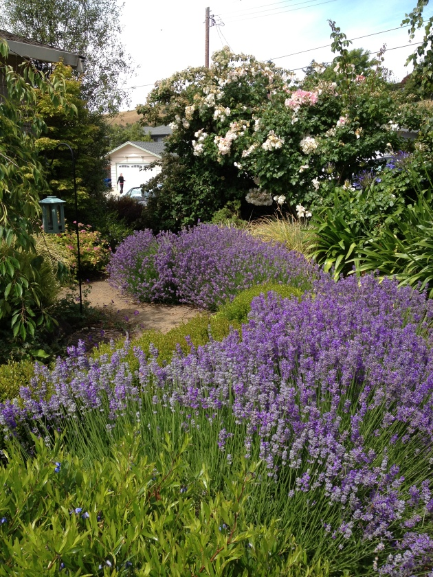 water wise lavender hedge