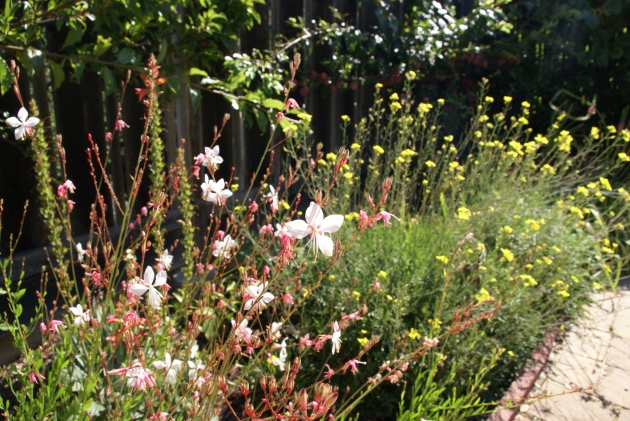Gaura and Diplotaxis flowers in Garden Bed