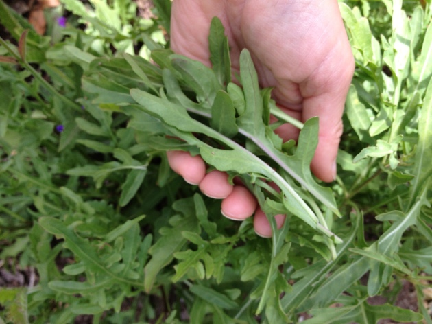 Picking Wild Arugula leaves