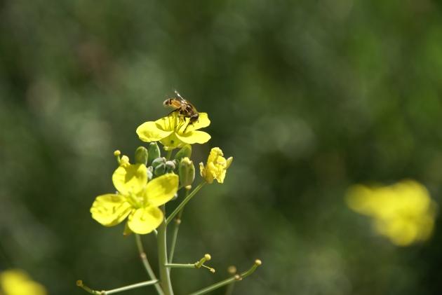 Wild Rocket Arugula flowers with bee