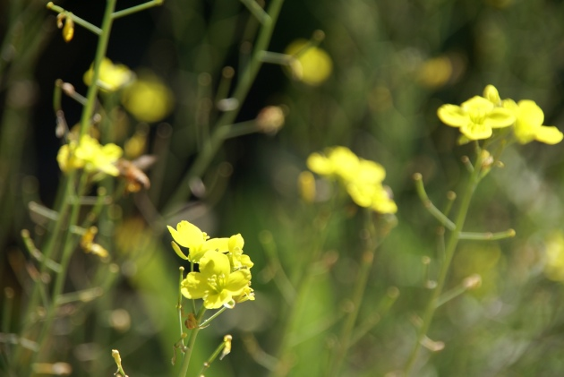 WildRocket Yellow Flowers