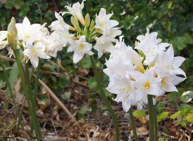 white amarylis belladonna
