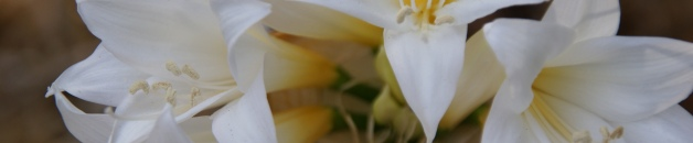white amaryllis belladonna up close