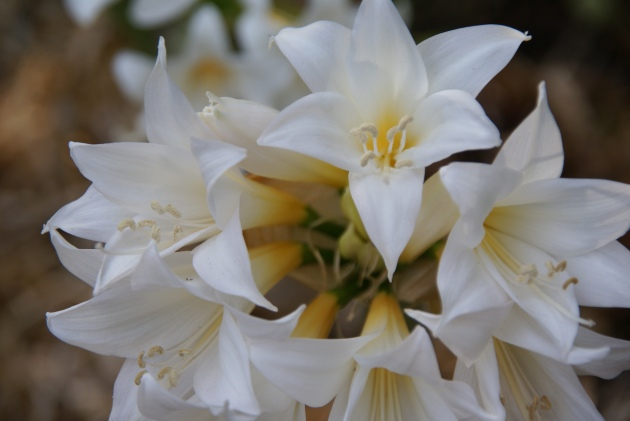 white amaryllis belladonna up close