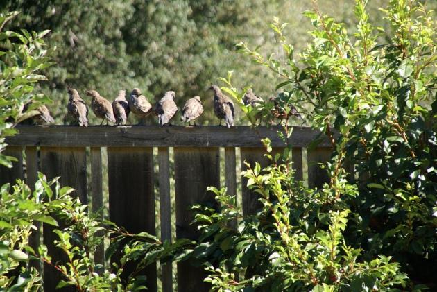 quail familyon fence