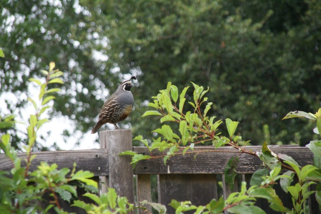 quail daddy on fence