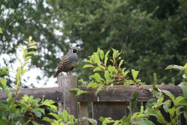 quail daddy on fence