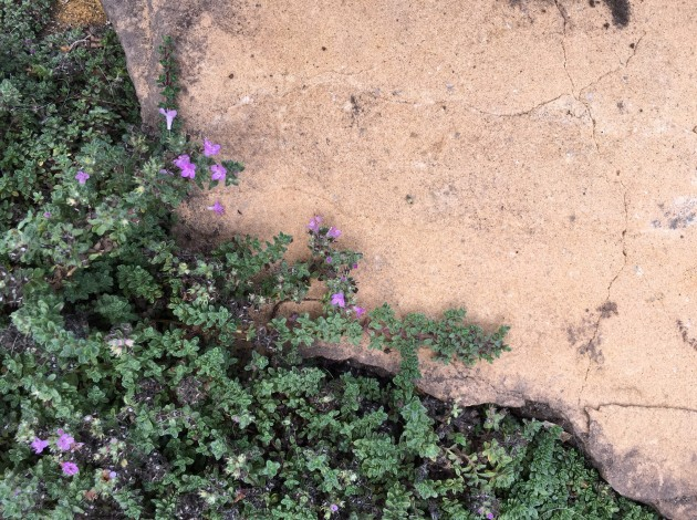 thyme with sandstone flagstone detail