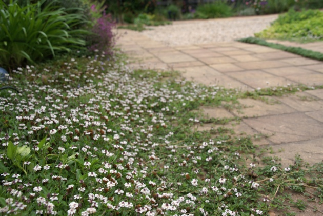 Lippia nodiflora with paver landscape