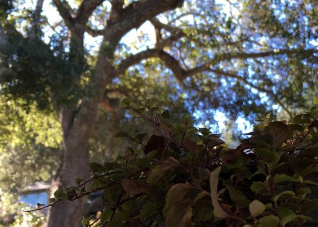 under oak canopy