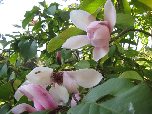 magnolia blossoms SF