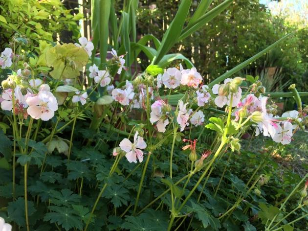 Geranium Biokovo in garden