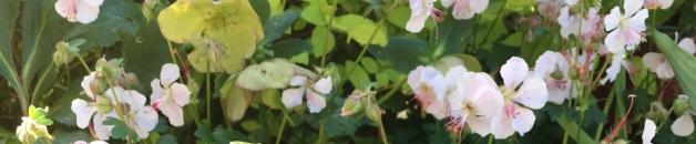 Geranium Biokovo with spirea