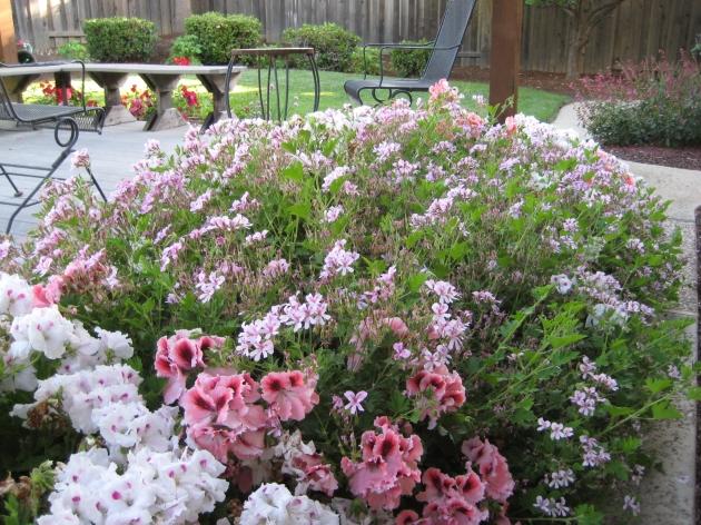 pelargoniums assorted