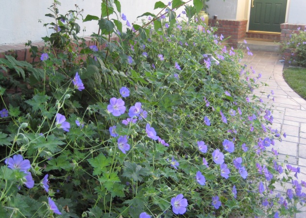 geranium blue rozanne