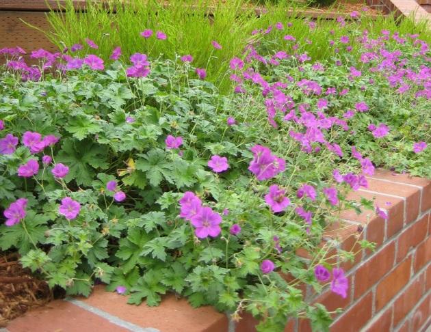 geranium russell pritchard