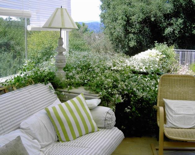 Clematis tenuifolia invades porch