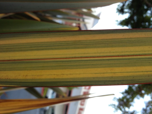 phormium leaf with yellow pattern