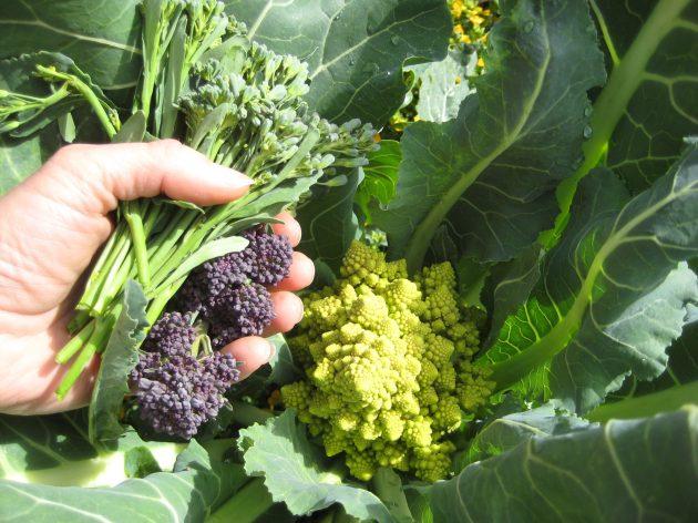 purple broccoli romanesco trio