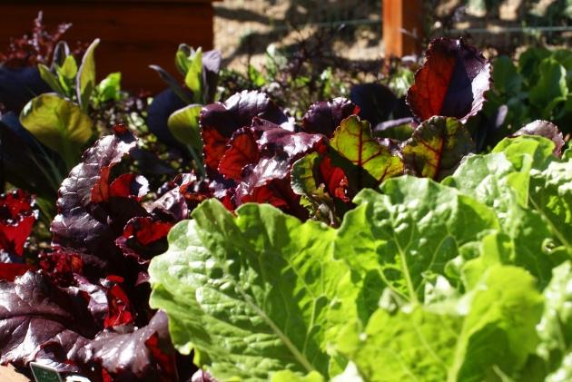 edible garden reds and greens