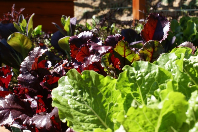 edible garden reds and greens