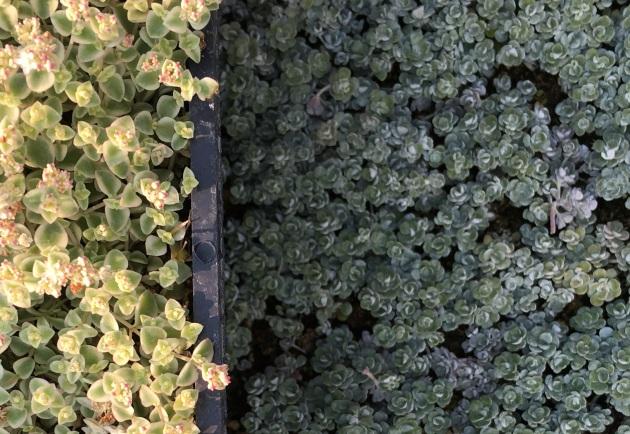 stonecrop sedum blanco grid