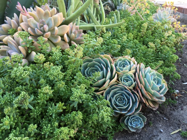 succulent sedum bed with echevaria chicks