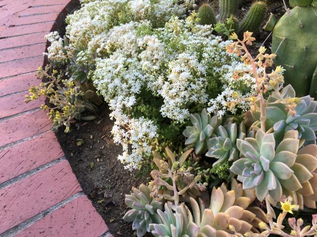 stonecrop sedum album with ghost plant