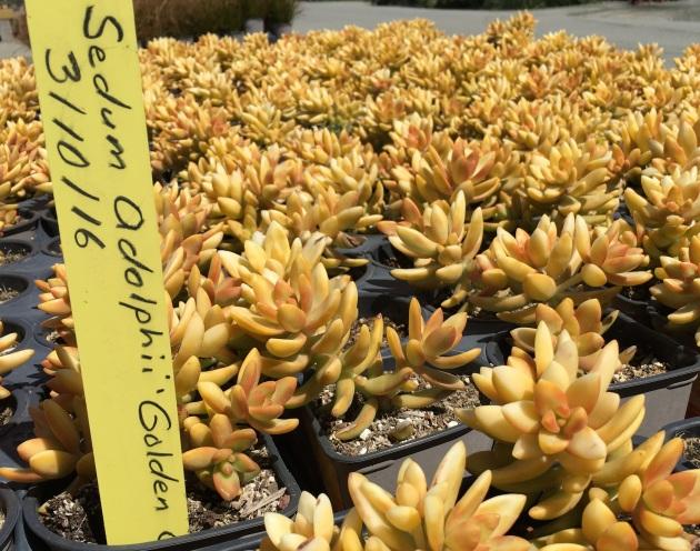 Sedum odolphii Gold crop
