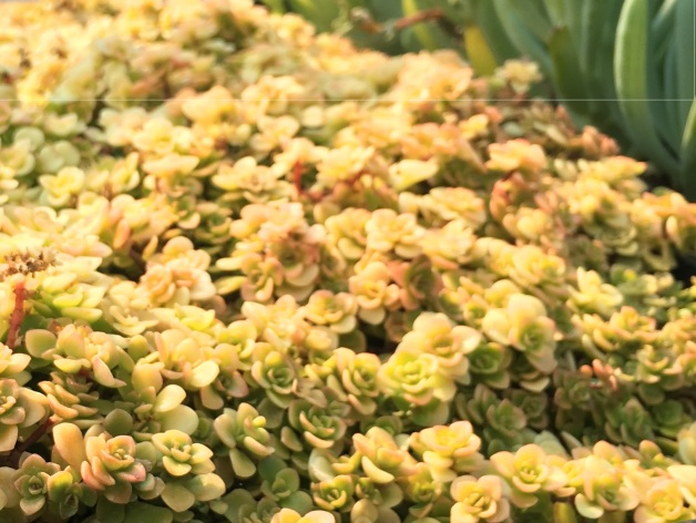 Sedum Ogon Yellow