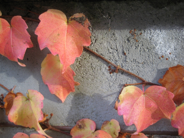 cissus leaves clinging fall