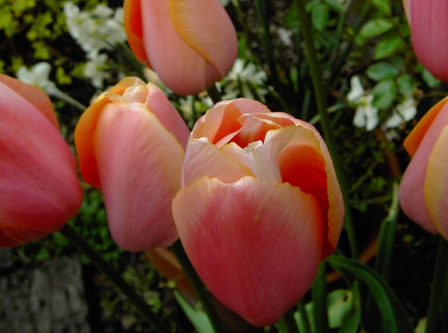 tulip bulb soft orange mix