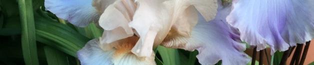 garden iris close