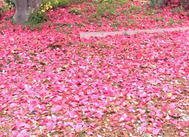 camellia blossoms fallen