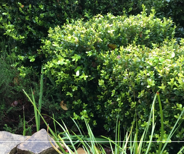 boxwood new growth