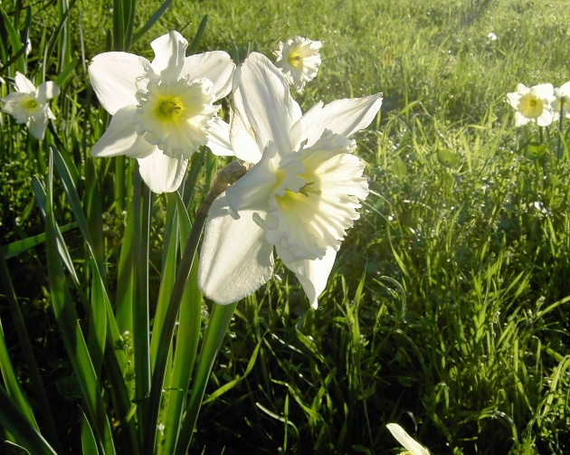 white daffs backlit