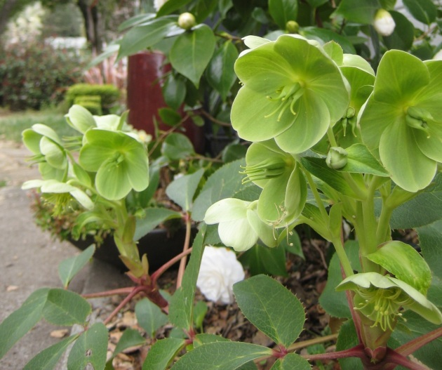 Corsican Hellebore with foliage