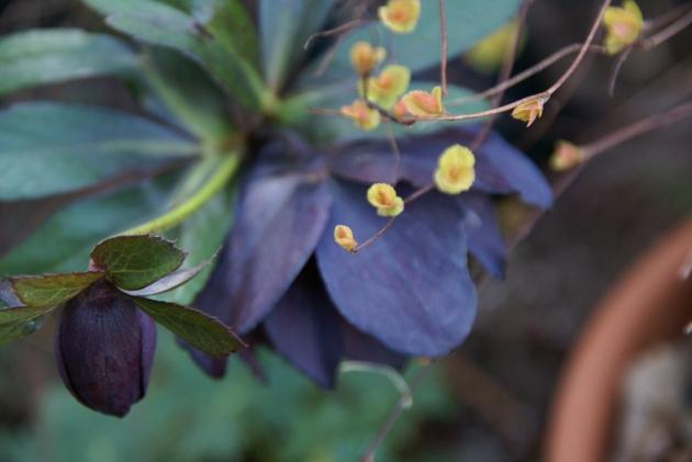 Purple Hellebore sepals
