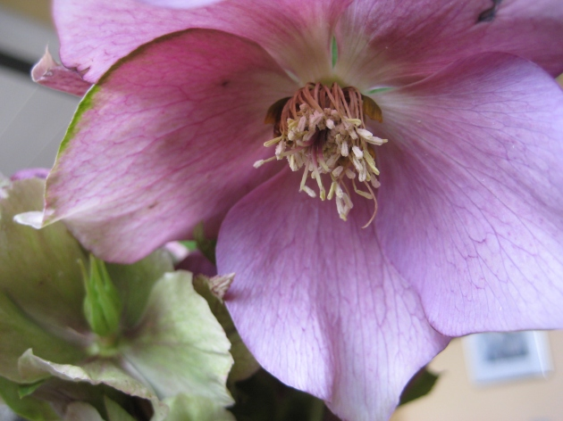 Hellebore close with picotee