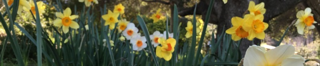 Daffodils with oak landscape
