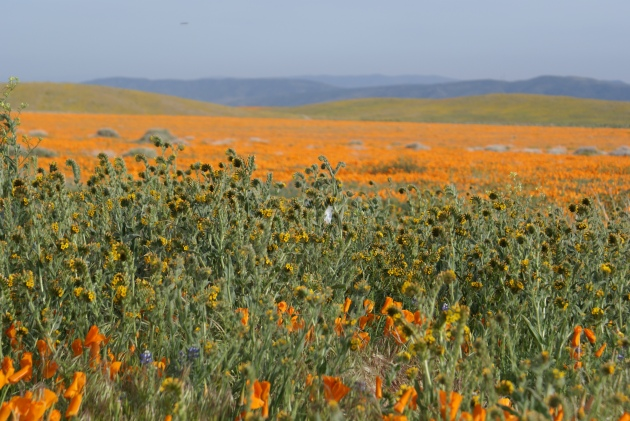 poppies and fiddlenecks Joy