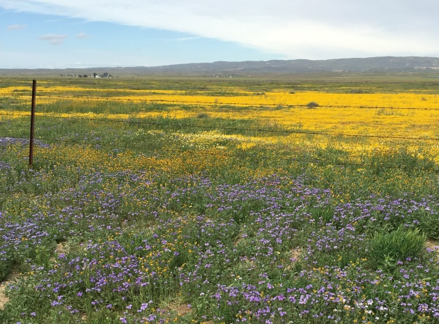 wildflowers carizzo plain